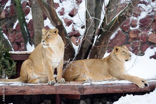 Zdjęcie XXL Para lwów. Lew to gatunek drapieżnych ssaków, jeden z czterech przedstawicieli rodzaju Panthers. Lew jest drugim co do wielkości żyjącym dużym kotem, drugim po tygrysie.