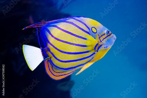 Anioł ryba. To majestatyczne piękno, woli pozostać w cieniu. Ukazuje się w większości Oceanu Indyjskiego. Ryba ta znajduje się wśród raf koralowych na głębokościach do 50 m.
