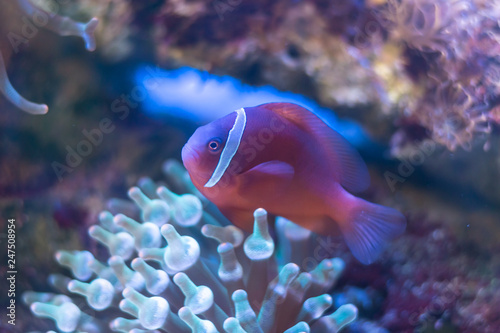 Fotografie, Tablou  Skunk clownfish, Nosestripe anemonefish, Whitebacked clownfish