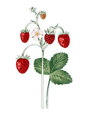 Hand Drawn Wild Strawberry