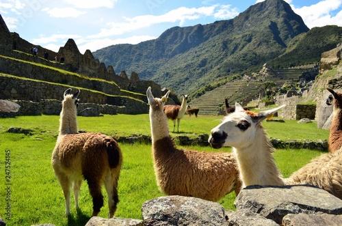 Poster Lama Llamas at Machu Picchu Peru