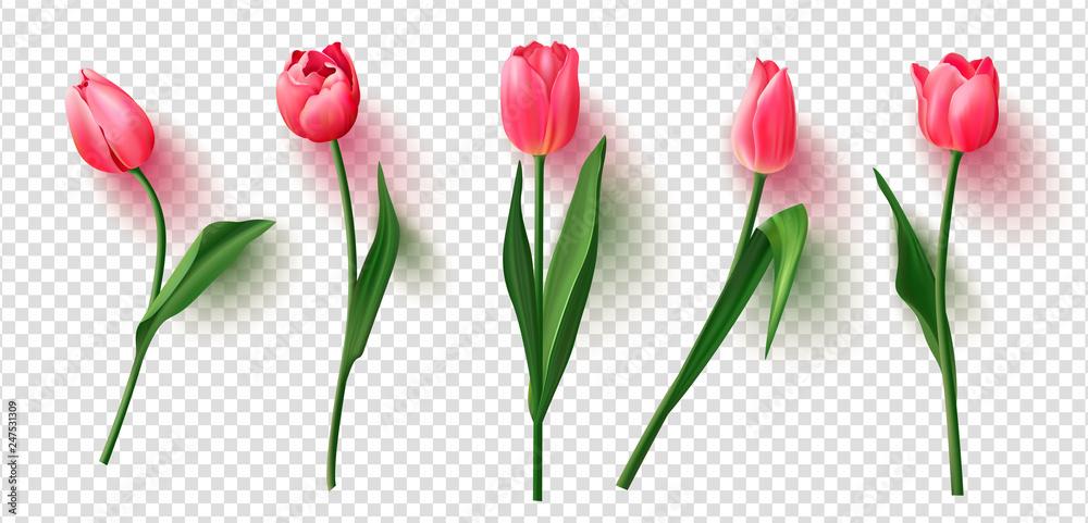 Fotografie, Obraz Realistic vector tulips set on transparent background