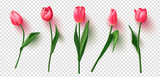 Fototapeta Tulipany - Realistic vector tulips set on transparent background.Vector illustration.