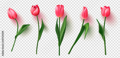 Fototapeta Realistic vector tulips set on transparent background