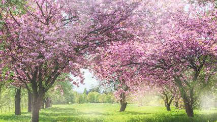 Wunderschöne märchenhafte Frühlingslandschaft mit Zierkirschen-Kirschblütenzeit