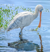 Yellow Billed Spoonbill Standi...