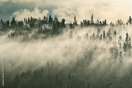 Cadres-photo bureau Matin avec brouillard Foggy mountain ranges covered with spruce forest in the morning mist