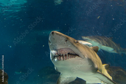 Big white shark from front view Canvas Print
