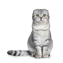 Cute Young Silver Tabby Scottish Fold Cat Kitten Sitting Straight Up Looking At Camera With Yellow Eyes. Isolated On A White Background. Tail Beside Body.