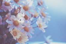 Blue Vintage Flower Background. Blossoming Chrysanthemum Flower After Rain
