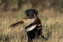 A Black Lab With A Rooster Pheasant