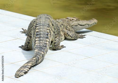 Foto  Close up of an Alligator