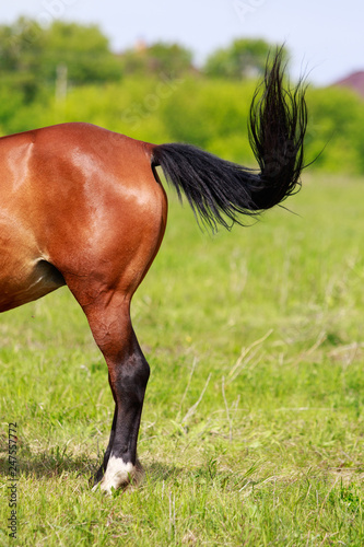 Photo  tail horse back view, grass meadow