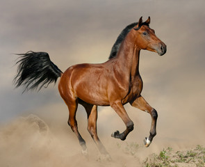 Bay stallion galloping