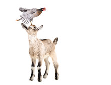 Cute Goatling Standing With Chicken On The Head