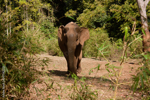 Poster Olifant An Asian female elephant walking towards the camera in Cambodia