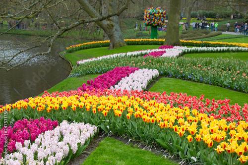 Plakat Tulipany kolorowi i kolorowi w wiośnie w Holandia