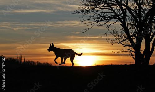 Poster Afrique du Sud The Belgian Shepherd Malinois runs on the background of a beautiful sunset.