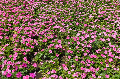 Fototapety, obrazy: Plenty of pink flowers of Catharanthus roseus in July