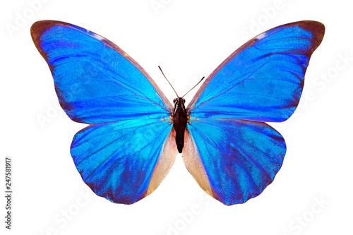 Valokuvatapetti blue butterfly Morpho anaxibia. isolated on white background
