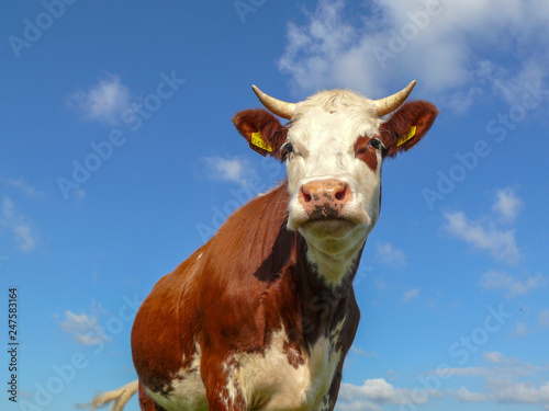 Photo  Handsome red pied young cow with white horns and pink nose, low view, against a blue cloudy sky