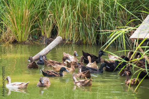 Fotografie, Obraz  Masses duck in the Farm.Thailand.