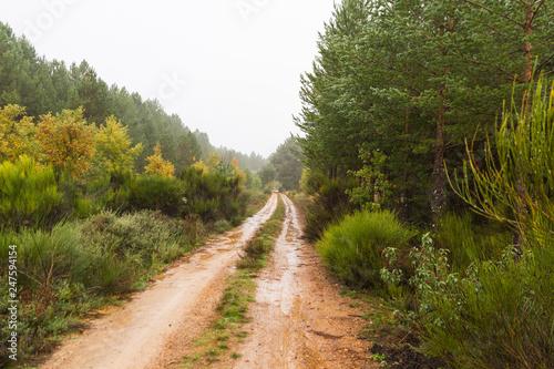 Fotografía  Camino entre Pinos un día de Lluvia