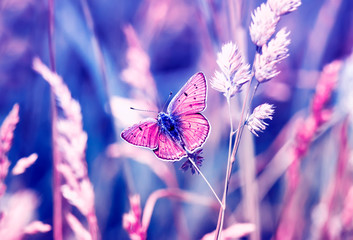 Fototapeta Motyle pink butterfly, copper-butterfly sits on a Sunny summer meadow in pastel colours and warm light