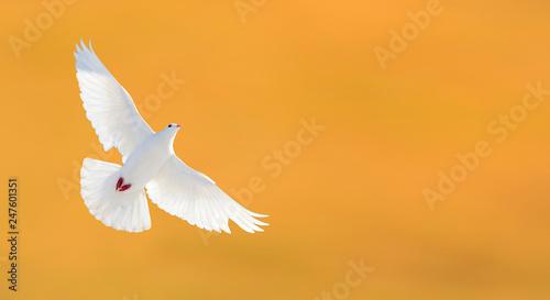 Obraz na płótnie white dove flying on a yellow background