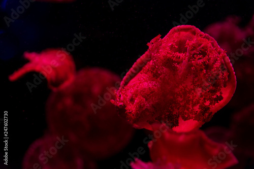 Obraz na plátně jellyfish underwater