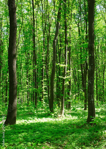 Okleiny na drzwi - Lasy - Drzewa  forest-trees-nature-green-wood-sunlight-backgrounds