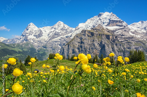 Obraz na plátně  Blooming alpine meadow in spring, Switzerland