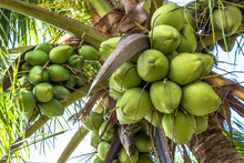 Coconut Plantation In The Nort...