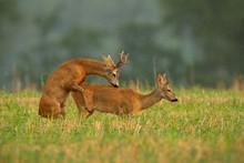Roe Deer, Capreolus Capreolus, Couple Copulating During A Mating Season. Wild Animals Reproducing. Mammals Having Sex. Mating Behavior During Rutting Season In Wilderness.