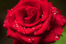 Beautiful Red Rose Covered With Rain Water Droplet
