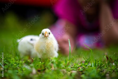 Carta da parati chicks