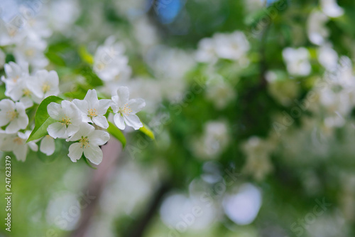 Fototapety, obrazy: Flowering of the apple tree in the garden. White flowers on a tree