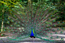 Peacock With Spreaded Tail