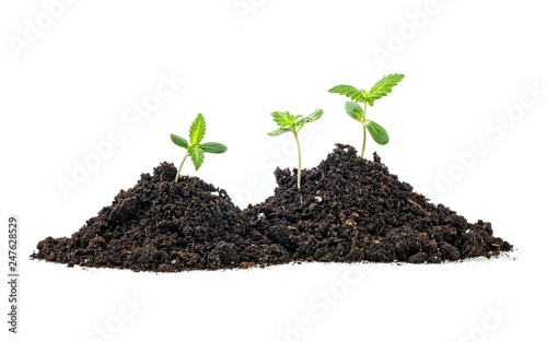 Valokuva  Cannabis sprouts in soil humus, white background