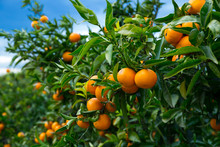 Closeup Of Ripe Mandarins On Tree