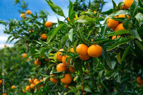 Closeup of ripe mandarins on tree - 247633512