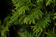 Closeup of Beautiful green christmas leaves of Thuja trees on green background. Thuja twig, Thuja occidentalis is an evergreen coniferous tree. Platycladus orientalis,  also known as Chinese thuja, Or