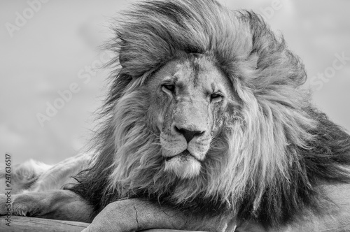 Acrylic Prints Closeup of a majestic young brown lion during a South African Safari