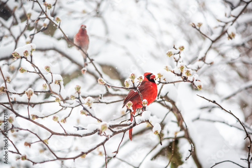 One red northern cardinal Cardinalis bird perched on tree branch during heavy wi Fototapeta