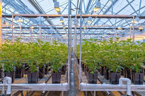 Vászonkép Marijuana Farm in Oregon