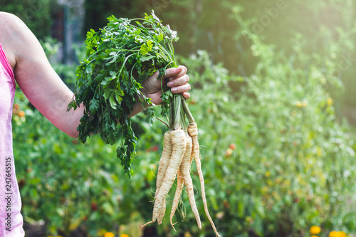Photo  Woman is holding a root parsley vegetables in her hands
