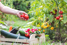 Woman Is Harvesting Tomatoes. Woman´s Hands Picking Fresh Tomatoes To Wooden Crate. Organic Garden