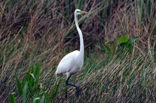 Great Egret Bird During Breeding Season In Florida USA