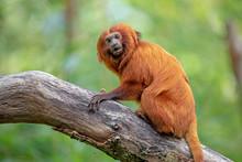 Golden Lion Tamarin Monkey Cli...