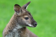 Red-necked Wallaby Or Bennett'...